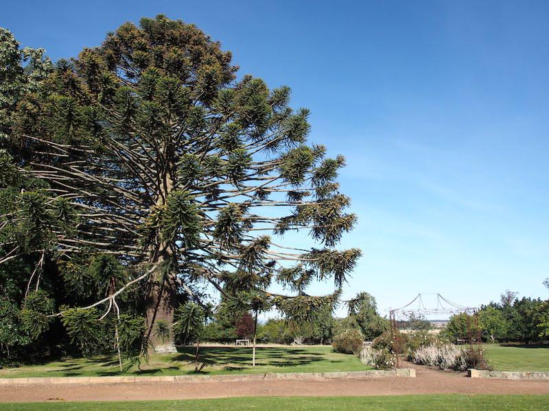 Majestic bunya pine