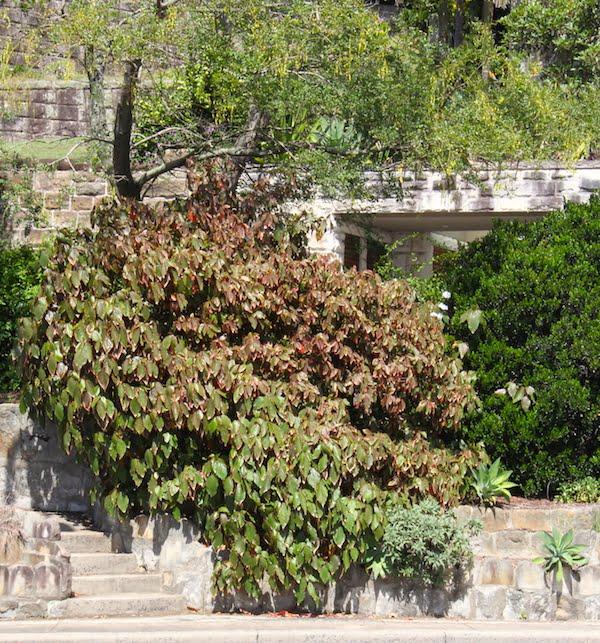 Acalypha 'Marginata' in a Sydney garden