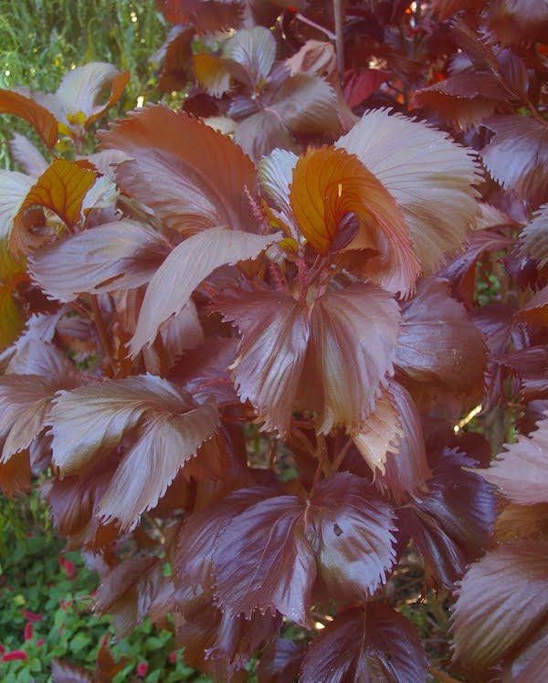 Acalypha 'Moorea' is a popular and distinctive cultivar