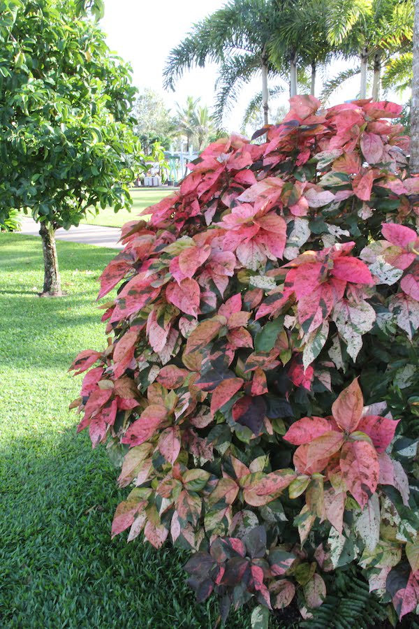 Acalypha 'Musaica' with its compact growth and pinkish leaves is a popular cultivar