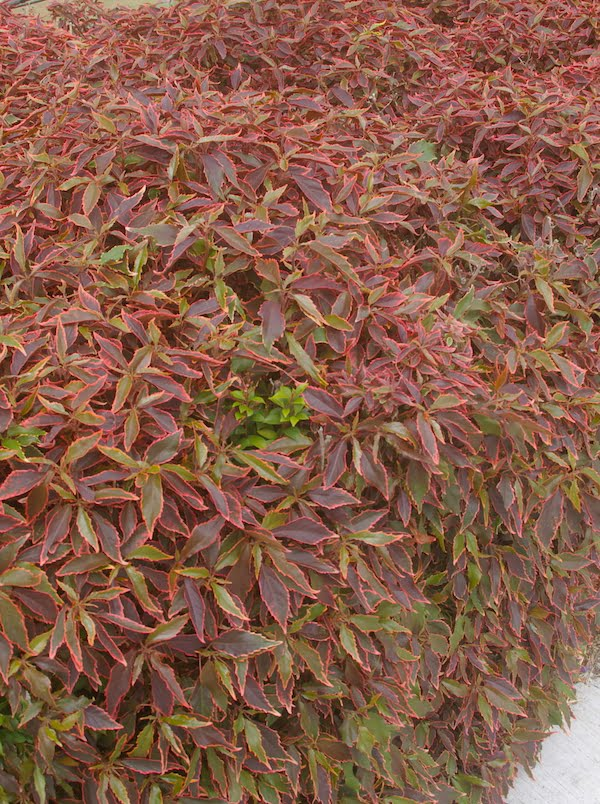 One of the most popular cultivars, Acalypha 'Firestorm'