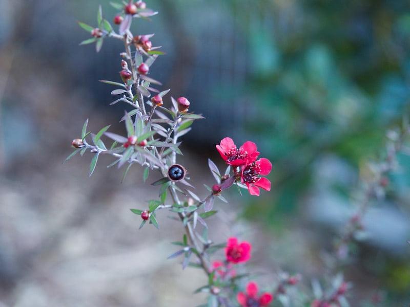 Leptospermum scoparium (Tea Tree)