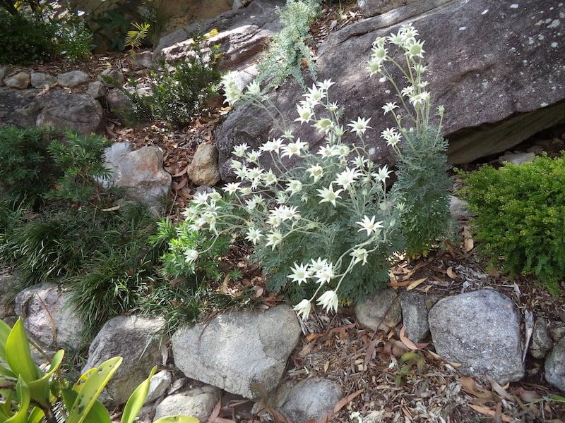 Actinotis helianthum (Flannel Flowers)