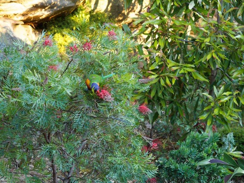 Rainbow lorikeet feasting on the grevillea
