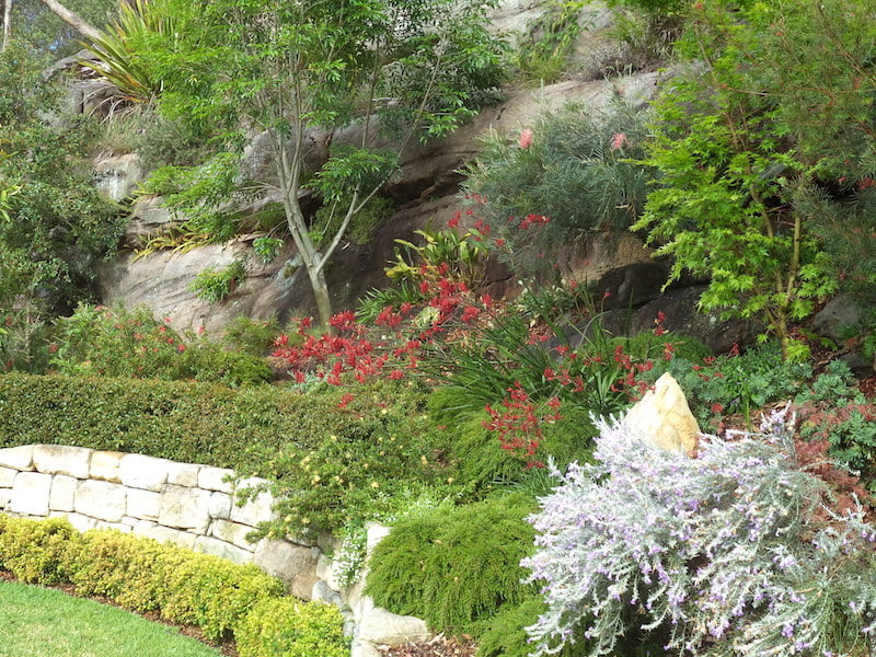 Garden in spring with Anigozanthos 'Giant Red' (Kangaroo Paws) in full flower, with Grevillea 'Sylvia' behind