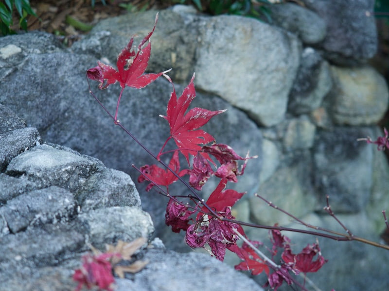 Stunning winter colour of Acer palmatum 'Okagami' (grafted)