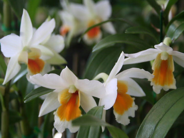 Thail orchids