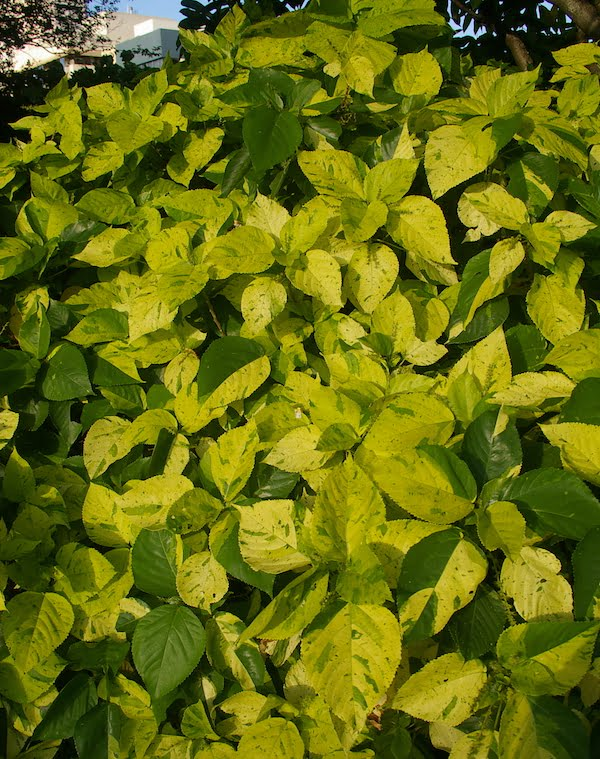 The aptly named Acalypha 'Green and Gold'