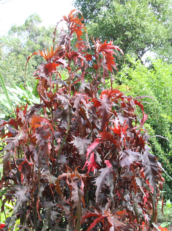 The distinctive leaves of Acalypha 'Raggedy Anne' resemble those of some begonias