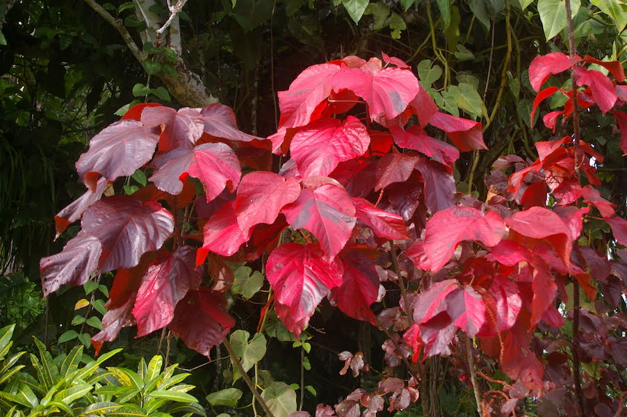 With adequate food and water Acalypha 'Macrophylla' is outstanding