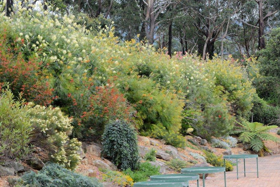 A bank of colourful, tropical grevilleas in Illawarra Grevillea Park