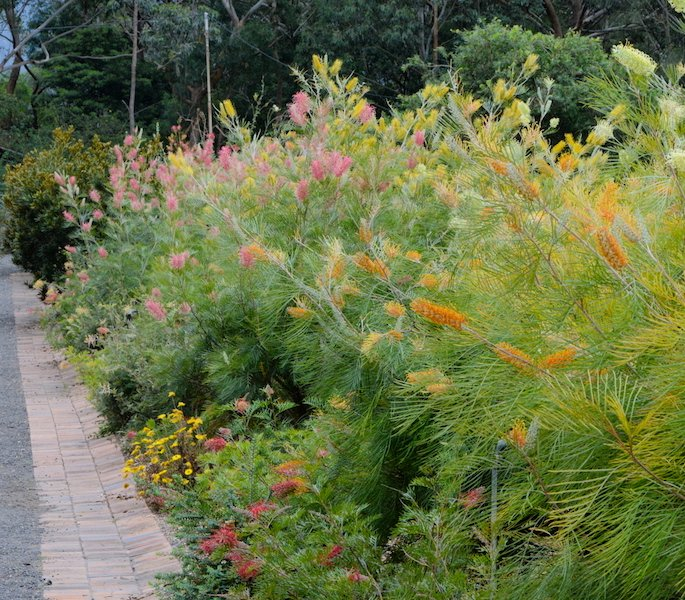 Tropical grevilleas have many different shades of large, showy flowers, in yellow, gold, pink and red