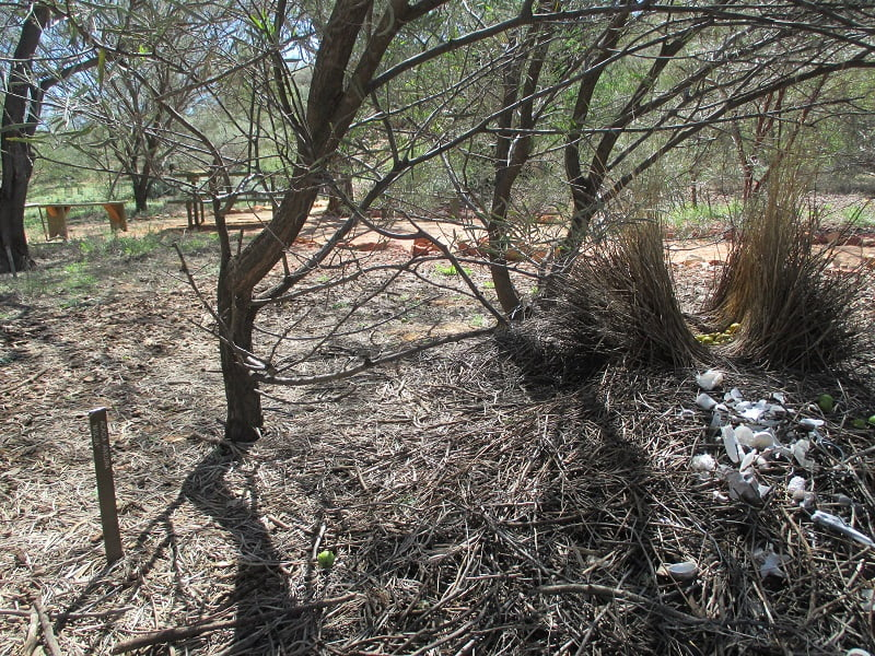 The Western Bowerbird collects white objects - Olive Pink Botanic Garden Alice Springs