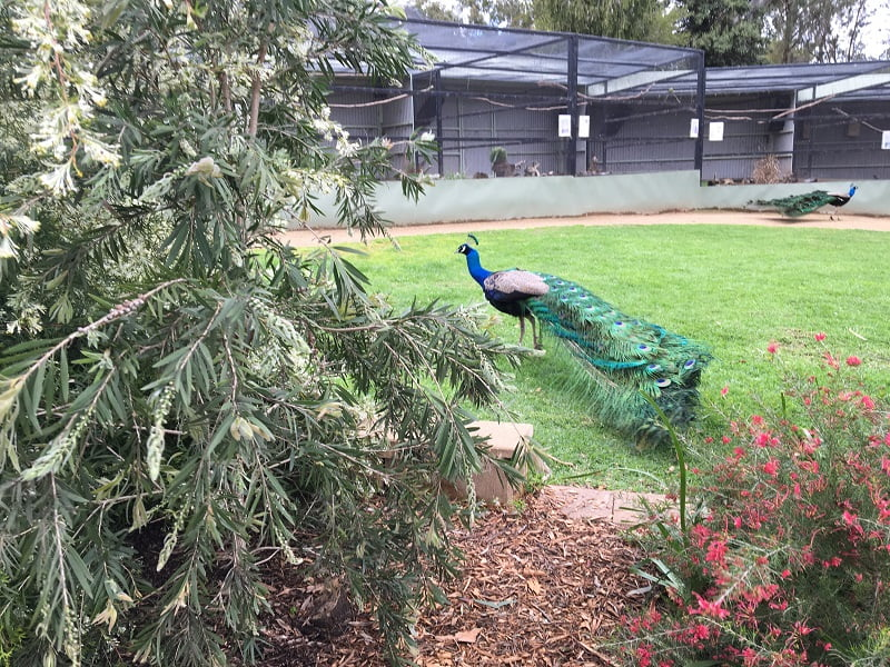 You don't see the plants for the peacocks! Wagga Botanic Garden