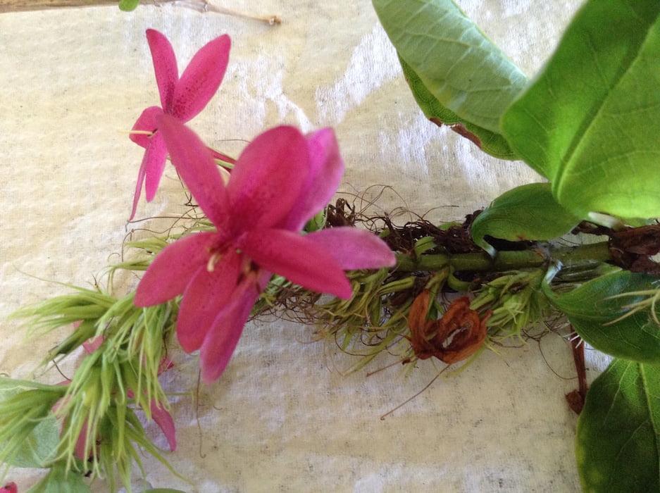 Flowers on the mystery shrub in Keren's Bermuda garden