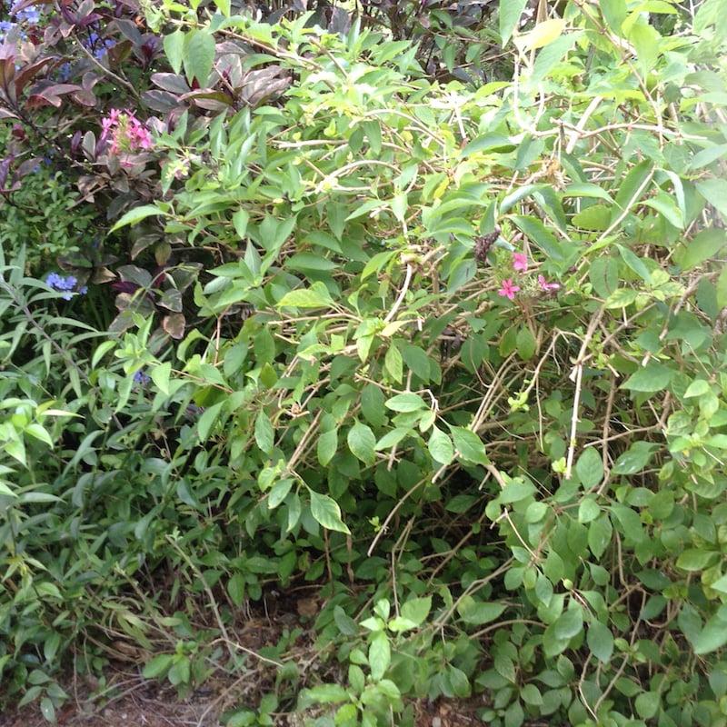 Habit of Keren's shrub growing in her Bermuda garden