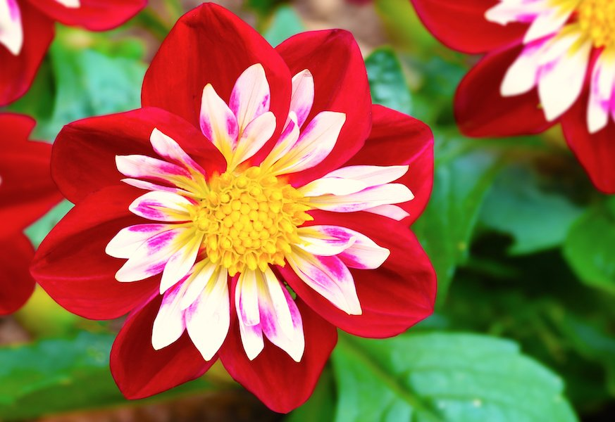 Colourful Collarette dahlia