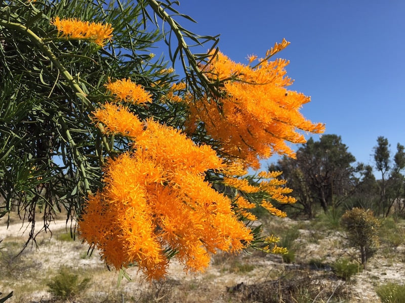 Golden Nuytsia floribunda (WA Christmas tree) flowers against a bright blue Western Australian sky