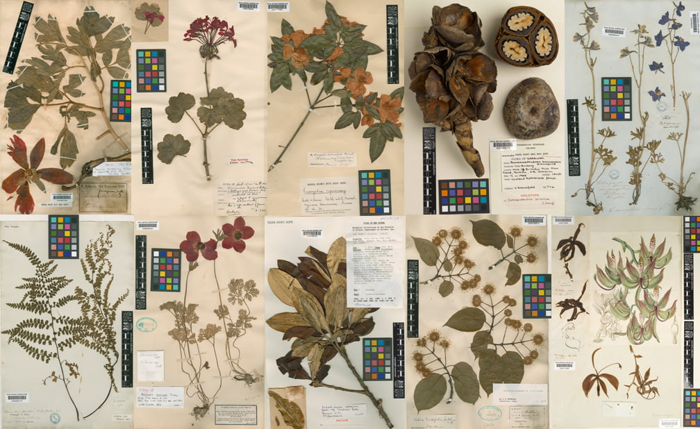 How to identify a mystery plant gardendrum - Model herbarium ...