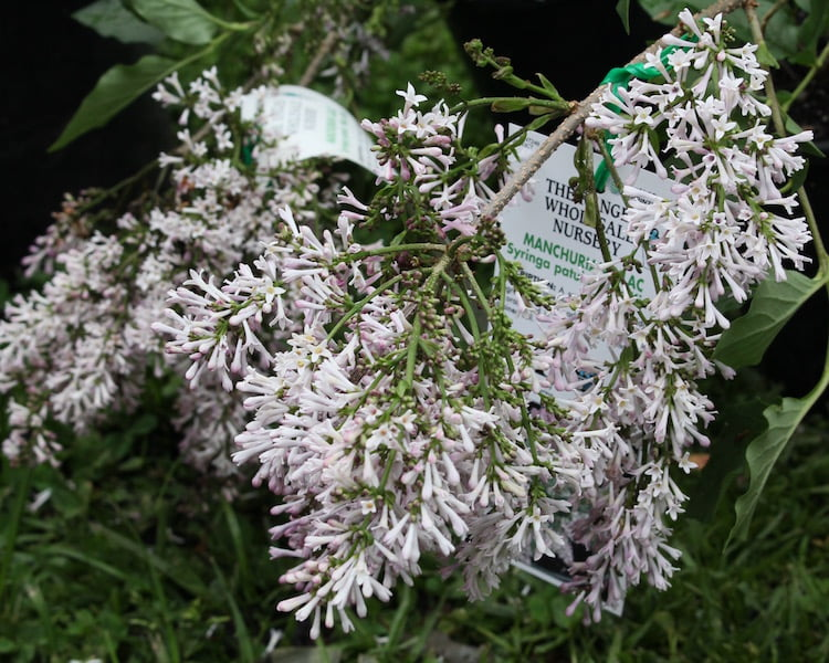 Manchurian lilac for sale at the Botanic and Rare Plant Fair Melbourne