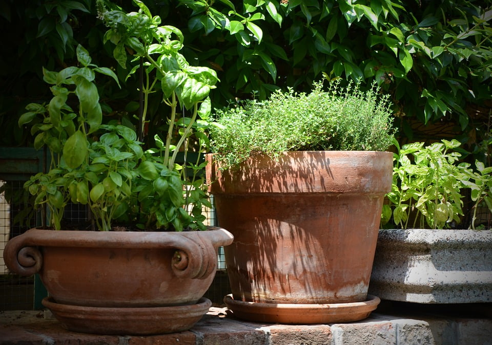 Potted herbs with basil