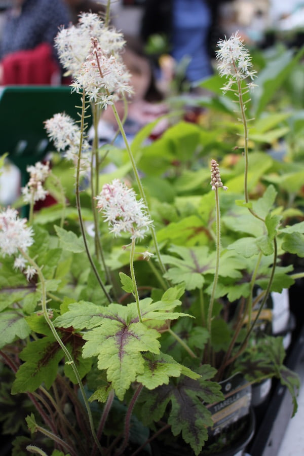 Pretty Tiarella at the Botanic and Rare Plant Fair Melbourne