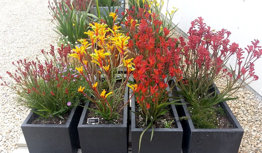 There's a kangaroo paw colour and size to enchant every gardener