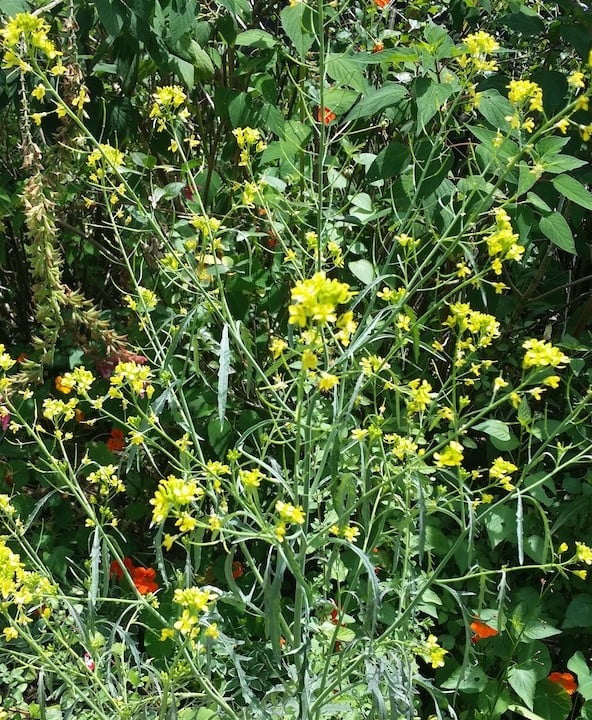 mustard - as an annual this plant will only live for a few months in my garden. It is flowering beautifully now attracting butterflies and bees, and then will set seed and die, making way for a new generation.