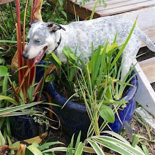 My water pot for Louisiana irises got mistaken by the dogs for a paddling pool..