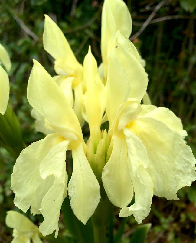 Roscoea cautleyoides - closeup of flower