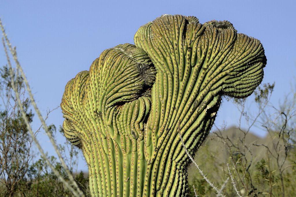 Fasciated seguaro cactus
